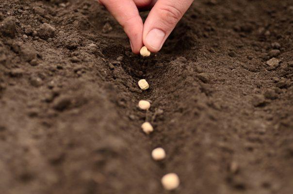 Bí kíp trồng Cải Ngọt