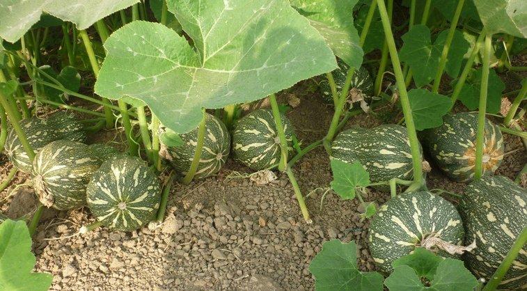 nên chọn hạt giống bí hạt đậu sạch khỏe