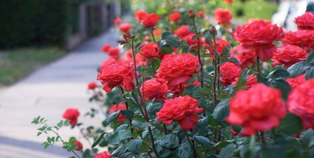 Bí quyết trồng hoa hồng ra nhiều hoa bạn nên biết