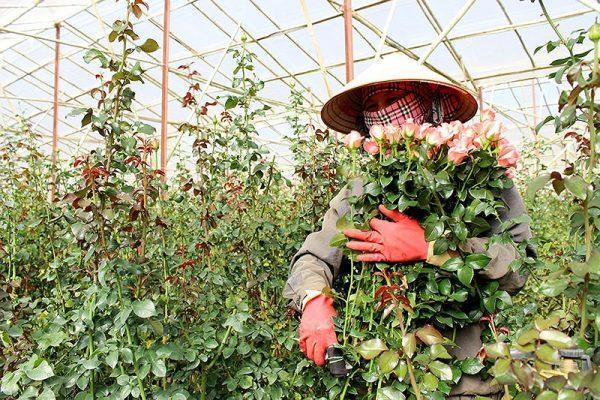 Nên thu hoạch hoa hồng vào buổi chiều