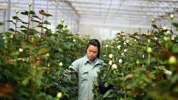 Nên phân loại hoa hồng sau khi thu hoạch