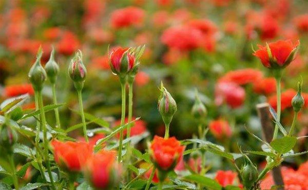 Trồng hoa hồng bằng hạt một cách hiệu quả