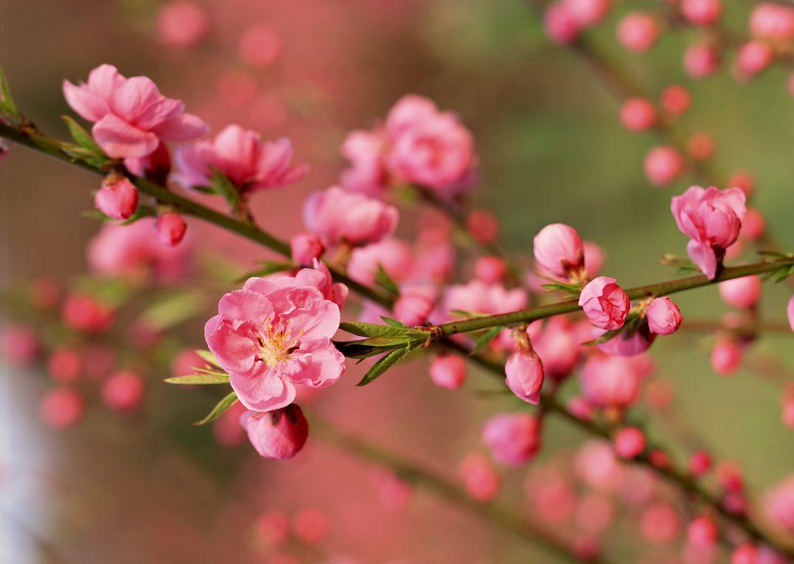 Đặc tính sinh học cây hoa đào