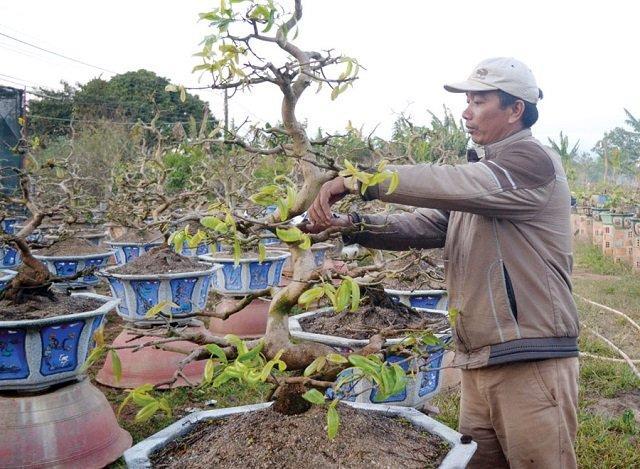 Giai đoạn sau Tết cây mai cần thời gian và dinh dưỡng để phục hồi và phát triển sau một thời gian dồn sức cho việc ra hoa.