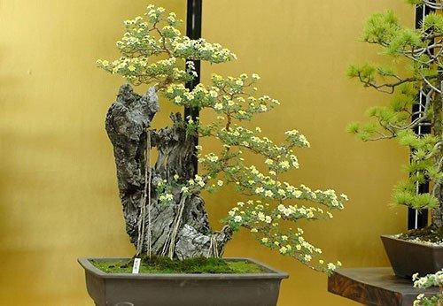 Phân bón là 1 trong 4 yếu tố ảnh hưởng đến sự phát triển của cây bonsai