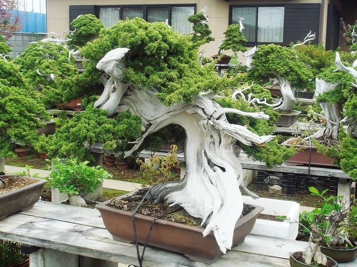 Bón phân, chăm sóc cho bonsai trong năm