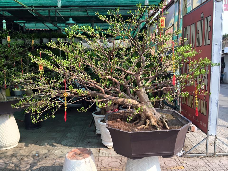 Cách bón phân cho Bonsai - cây cảnh chưng Tết bằng phân dơi hữu cơ Bat Guano