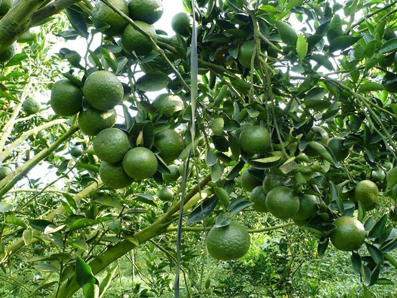 Kỹ thuật bón phân dơi cho cây cam sai trái