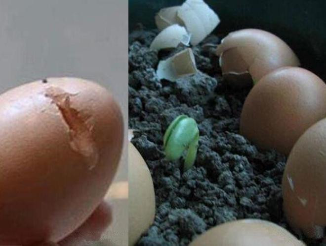 vỏ trứng bón phân nứt vỏ